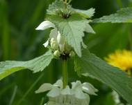 A photo of White Deadnettle