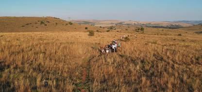 A herd of zebra walking across a dry grass field
