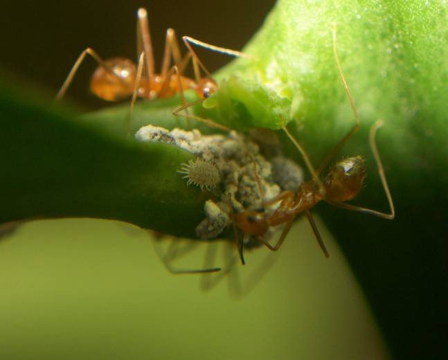 A close up of a mealybug from the family Pseudococcidae with ants feeding on their honeydew