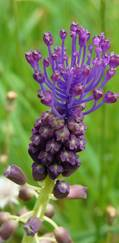 A photo of Tassel Hyacinth