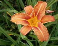 Hemerocallis fulva close-up1