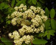 A photo of False Spiraea