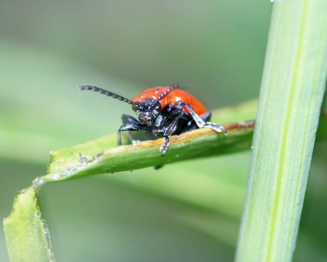 A close up image of a scarlet lily beetle Lilioceris lilii eating on a green lily leaf