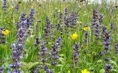 A photo of Ajuga