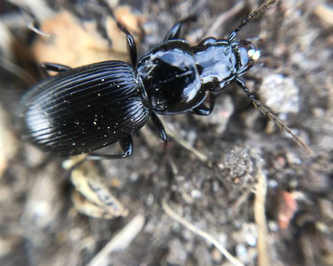 A close up photograph of a black clock beetle Pterostichus madidus on the ground