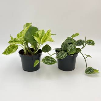 House Plant Bundle, Pothos Marble Queen, Philodendron Silver, Scindapsus Pictus