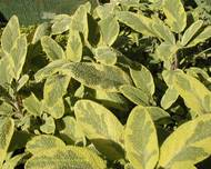A photo of Yellow Sage
