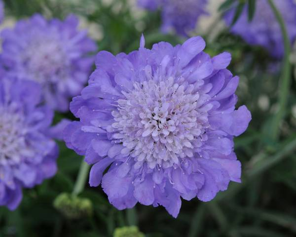 A picture of a Pincushion Flower