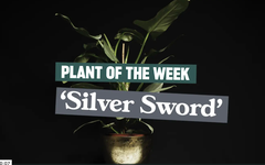 Plant of the week: Philodendron hastatum 'Silver Sword'