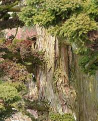 A photo of Japanese Cedar