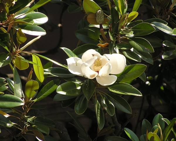 A picture of a Large - Flowered Magnolia