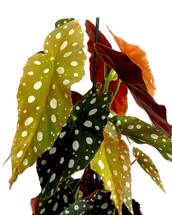 Begonia Maculata - Polka Dot Begonia Pot Size 12cm - Live Indoor Potted Houseplant - Free Delivery