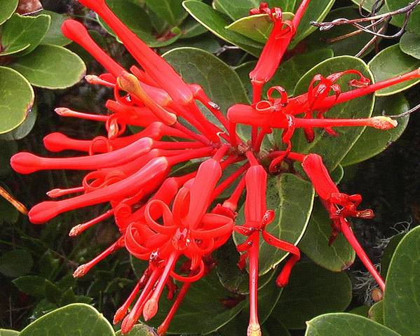 A picture of a Chilean Fire Bush