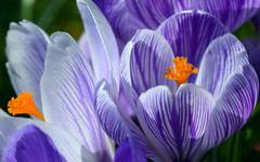 A photo of Crocus