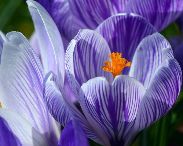 A picture of a Crocus
