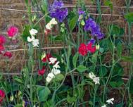 Mixed sweet peas 'Lathyrus odoratus' at Boreham, Essex, England 2