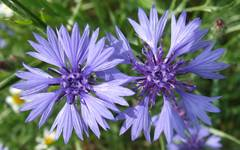 A photo of Cornflower
