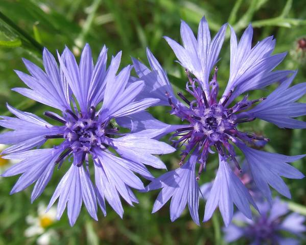 A picture of a Cornflower