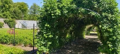 Laburnum arch at Cringletie Garden