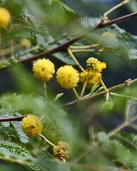 A photo of Thorny Acacia