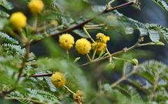 A photo of Thorn Mimosa