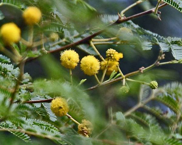 A picture of a Thorn Mimosa