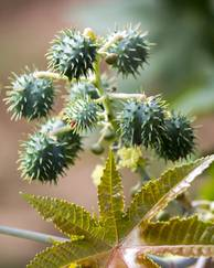 A photo of Castor Oil Plant