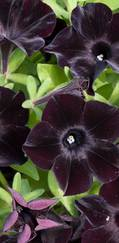 A photo of Petunia 'Black Velvet'