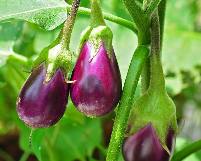 A close up of some aubergine Solanum melongena fruits on a plant