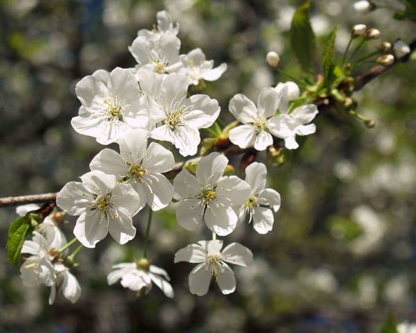 A picture of a Prunus cerasus