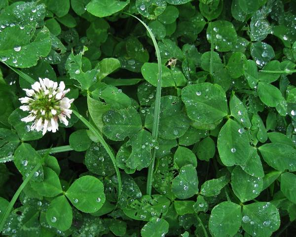 A picture of a White Clover