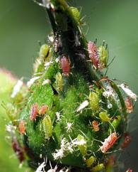 A photo of Rose Aphid