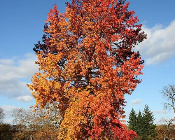 A picture of a Sweet Gum