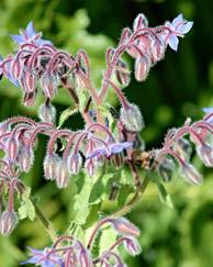 A photo of Borage