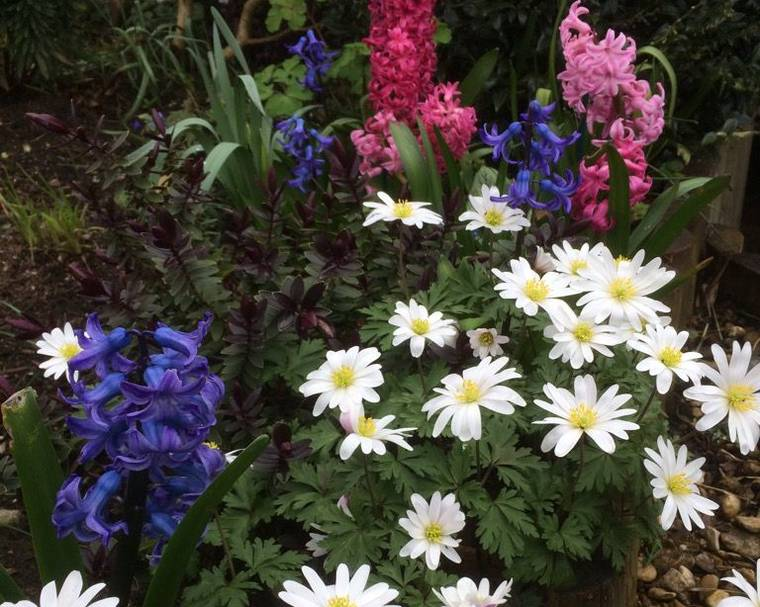 Anemone and hyacinth spring flowers