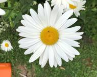 A photo of Shasta daisy