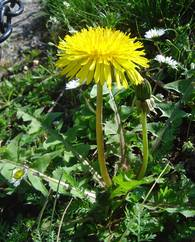 A photo of Taraxacum