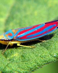 A photo of Leafhoppers
