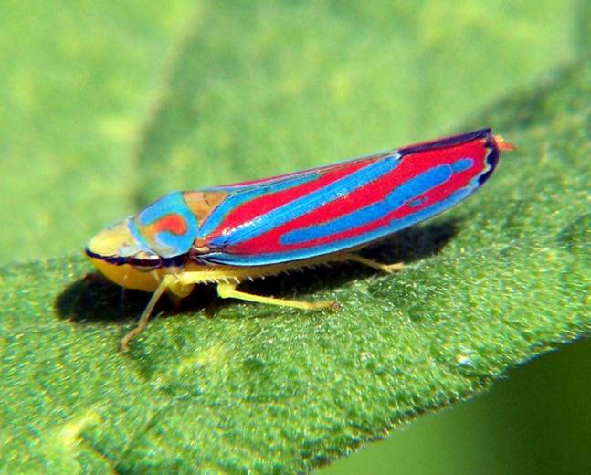 A colourful leafhopper in the family Cicadellidae on a green leaf