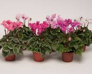 A photo of Cyclamen 'F1 Metis Pom Pom'