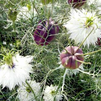 Suttons Love In A Mist Seeds Albion Black Pod