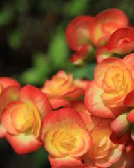 A photo of Begonia