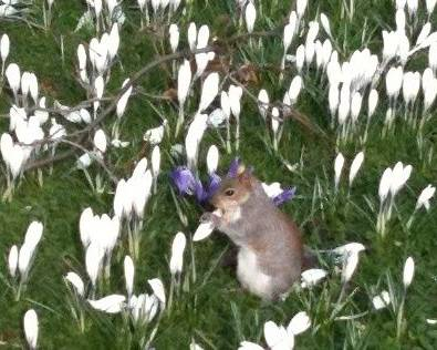 A squirrel eating crocus flowers in the grass