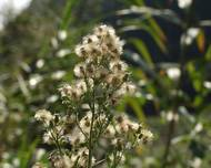 A photo of Horseweed
