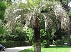 A Butia capitata palm in a park