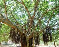 Ficus benghalensis tree at IGZoo park 01