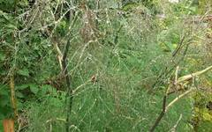 A photo of Bronze Fennel