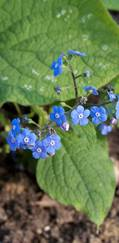 A photo of Siberian Bugloss 'Langtrees'