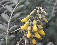 A photo of Sophora tomentosa