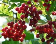 A photo of Viburnum